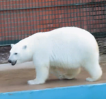 Polar bear predicts Germany victory over Australia